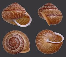 Mollusc or Mollusk Shell-- is typically a calcareous exoskeleton which encloses, supports and protects the soft parts of an animal in the phylum Mollusca, which includes snails, clams, tusk shells, and several other classes. Not all shelled molluscs live in the sea; many live on the land and in freshwater.