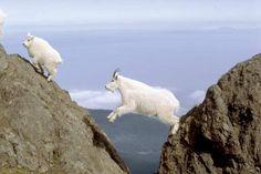Mountain Goat. Caveat: photoshopped, but charming.