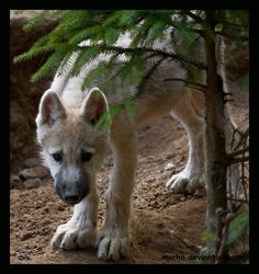 shy wolf puppy by *morho on deviantART