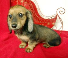 English Cream Long Coat Mini Dachshund. Will fade to a pale blonde color. Sweet as pie.