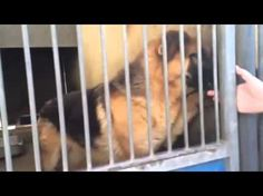 Safe!!! Angels for Animals Network RESCUED BY German Shepherd Rescue of Orange County.  Confiscated German shepherd is nearly out of time