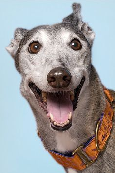 a happy greyhound!  looks like my Suede, except with all her teeth