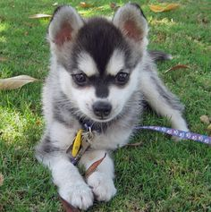 Alaskan Klee Kai | alaskan klee kai puppy breeds photo pets dog infomation