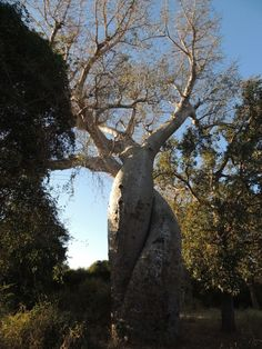 The Lovely Baobabs, - via The Wandering Soles Round The World Trip, Our World, World Traveler, Madagascar, Us Travel, Cool Photos, Plants, Plant, Planting