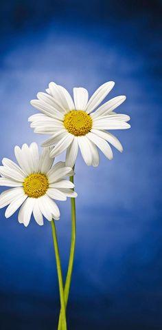 Daisy Wallpaper, Sunflower Wallpaper, Cute Wallpaper For Phone, Flower Phone Wallpaper, Wallpaper Backgrounds, Wallpaper Pic, Beautiful Wallpaper, Iphone Backgrounds, Flowers Nature
