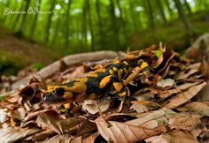 Beautiful salamander from Italian wilderness, photo taken by Bruno d'Amicis