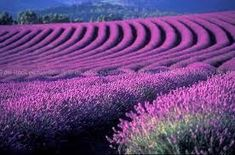 Beautiful English lavender, growing on a Lavender Farm in Tasmania, AU.from DW Stock Picture Library Lavender Garden, Lavender Blue, Lavender Fields, Lavender Plants, Growing Lavender, Lavender Flowers, Tasmania, Ikebana, Beautiful Gardens