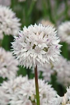 Allium 'Graceful' Follow our unique garden themed boards at pinterest.com/earthwormtec  Follow us on fb.com/earthwormtec for great organic gardening tips www.earthwormtechnologies.com