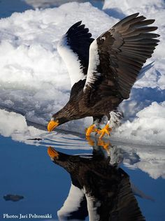 The Steller's Sea Eagle (Haliaeetus pelagicus) is a large bird of prey in the family Accipitridae. It lives in coastal northeastern Asia and mainly preys on fish. Photo by Jari Peltomaki