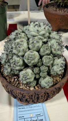 "Cactus. (""Ortegocactus."") Google search: ""Ortegocactus macdougallii is a species of cactus and the sole species of the genus Ortegocactus. The plant has a greenish-gray epidermis and black spines. It is only known from Oaxaca, Mexico. Wikipedia."""