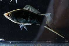 Black Moscow swordtail fish. Swordtails are the most active of the common livebearers, and they can hold their own with other community fish.
