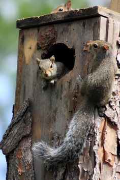 """ANA CLAUDIA REIS QUEIROZ Queiroz: AMOR, PARECE QUE TEMOS VISITAS......  Sharon Jeannette: #SquirrelSaturday curated by +SE Blackwell +Squirrel Saturday The nice people at Busch Wildlife Sanctuary have placed these nice homes on the trees for squirrels. I got lucky  saw three in this one!"""