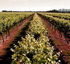 Coonawara Wine Region, Australia