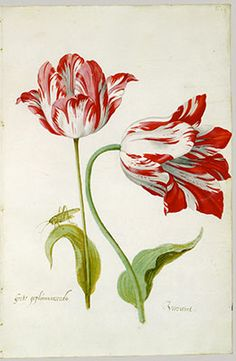 Four Tulips: Boter man (Butter Man), Joncker (Nobleman), Grote geplumaceerde (The Great Plumed One), and Voorwint (With the Wind). Artist: Jacob Marrel (German, Frankenthal Frankfurt am Main). Medium: watercolor on vellum. Tulips Flowers, Botanical Flowers, Botanical Prints, Tulip Drawing, Tulip Painting, Art Floral, Botanical Drawings, Watercolor Flowers, Watercolor Art