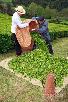 Harvesting tea leaves, tea garden, Porto Formoso, São Miguel Island, northeastern Azores, Portugal