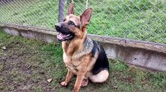 How To Stop Your German Shepherd From Biting and Nipping - German Shepherd World