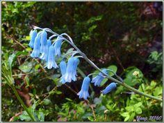 Randonnée au Congost de Mont-Rebei : fleur à clochettes bleues : la Jacinthe améthyste (Brimeura amethystina) - Aragon/Catalogne - Espagne