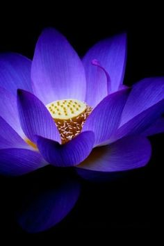 ~~Blue Lotus by Faye Wong~~reminds me of meditating with light and violet flame, prior to my writing time. Exotic Flowers, Amazing Flowers, Purple Flowers, Beautiful Flowers, Blue Lotus Flower, My Flower, Water Plants, Flower Pictures, Belle Photo