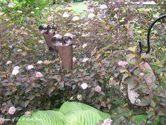 Blooming ninebark shrubs.  (May 20, 2012)