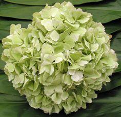 Sage Green Hydrangea