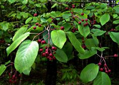 Rosaceae : Amelanchier arborea - Downy Serviceberry (Common serviceberry, Juneberry, Shadbush) with fruit (purple when ripe) Leaf Flowers, White Flowers, Landscaping Around House, Variegated Plants, Downy, Foliage Plants, Bird Species, Shrubs, Planting Flowers