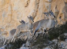 Bharal, or Himalayan blue sheep, in Qiangtang nature reserve in south-west China's Tibet autonomous region. The reserve covers an area of more than 200,000 sq km and is home to more than 400 kinds of wild animals