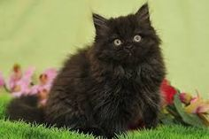 best images and photos ideas about selkirk rex cat - most affectionate cat breed Selkirk Rex, Rex Cat, T Rex, Animals For Kids, Cute Animals, Types Of Cats, Maine Coon, Cat Breeds, Black Cats