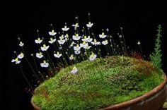 Bonsai Accent Plant 97