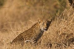 Leopard cub 2 by Gary Parker Photos, via Flickr