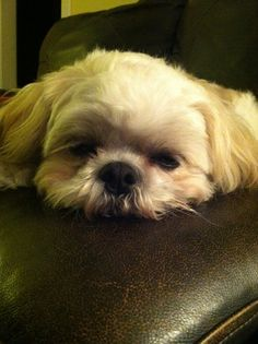 Sleepy little Shih Tzu...Zzzzz....