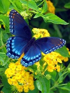 Blue Butterfly on Flowers - butterfly, flowers, insects, blue, animal Papillon Butterfly, Butterfly Kisses, Butterfly Flowers, Blue Butterfly, Beautiful Butterflies, Beautiful Birds, Animals Beautiful, Cute Animals, Yellow Flowers