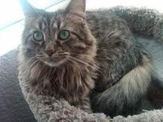 American longhaired brown tabby