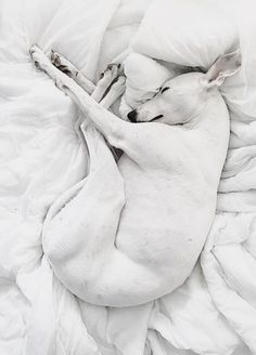 This is Allie Animals And Pets, Funny Animals, Cute Animals, Wild Animals, Baby Animals, Whippet Puppies, Dogs And Puppies, Whippets, Greyhound Art