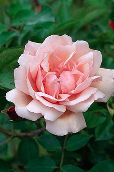Climbing rose 'albertine' ~ Netherfield herb garden, Suffolk, England
