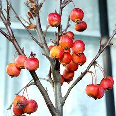 #bonsai #bonsaiapple #bonsaimela #plants #piante #vivaio #nursery