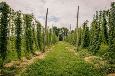 Wet Hop Beer: The Real Seasonal Brew You Should Be Drinking This Fall