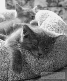 Beyond The Whiskers: Jimmy, a Russian Blue kitten showing off his furry paw while his brother sleeps on the other side of the bed.