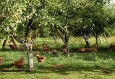 to have chooks in the orchard, they eat up the pests, have green pick, lay beautiful eggs.