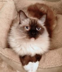 Kashmir is an adoptable Ragdoll Cat in Youngsville, NC. Back leg amputated Kashmir is a stunn ing ragdoll whoshould have been named Queenie because she is nothing less than regal. She sits in her thr...