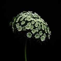 The Queen Anne's lace is now available as a photographic print.