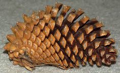 Image result for pine cone structure
