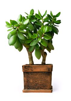 The Jade plant attracts money and prosperity. Place near the front door in a large pot. Don't allow it to grow larger than 3 feet. This is a plant of the succulent cactus family so do not over water.