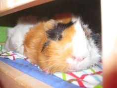 Ntalou my guinea pig