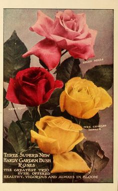 1910 - Dingee guide to rose culture : 1850 1910