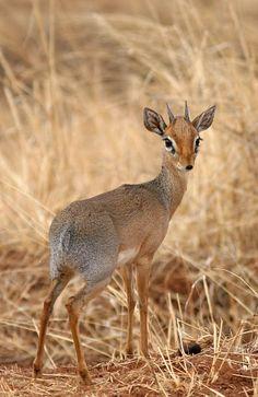 Baby deer.