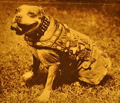 Sergeant Stubby... if you haven't yet read his story its well worth it..    http://stubbydog.org/2011/05/a-heros-nature/