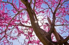 Starring the Eastern Redbud by Billy Brooks -  Click on the image to enlarge.