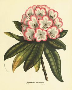 Rhododendron 1800s