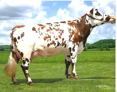 Dairy Cattle « New Hope Normandes