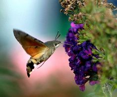 Hummingbird Moth - Bing Images  They are so beautiful to watch, I Love my visits with the Hummingbird Moth.